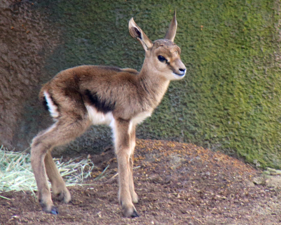 Penny Hyde Photography | Baby Gazelles | Baby Gazelle just 2 days old