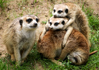 Meerkats are Cute...No Matter How You Stack 'Em!