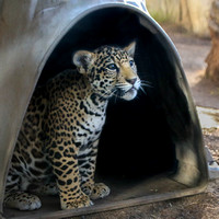 Jaguars in the Igloo