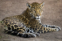 Who's a Gorgeous Jaguar? That Would Be...Nindiri!