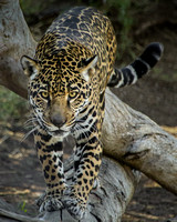 Nindiri on the Prowl