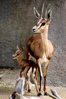 Baby Gazelle with mom