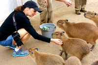 Getting to Know the Capybaras