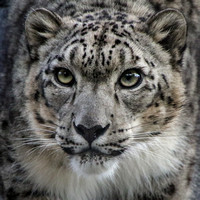 Ramil, the Charming Snow Leopard