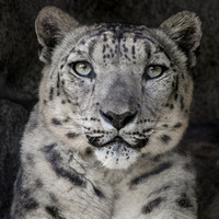 Anna, Queen of the Snow Leopards