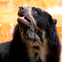 Turbo the Andean Bear