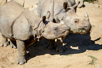 Greater One-horned Rhinos