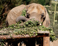 Tembo Savors Every Morsel of Browse