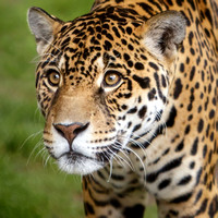 Gaupo, the Jaguar with the Soulful Eyes