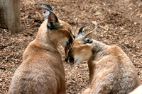 Caring Caracals