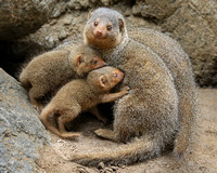 Proud Mama and the Mongoose Family