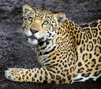 The Sweetest Jaguar Ever