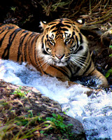 Tigers in the Stream