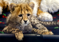 Roketi, the Cheetah Cub