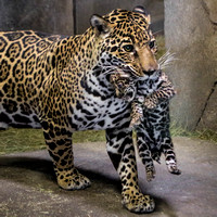 Proud Mama Jaguar and Her New Baby Boy!