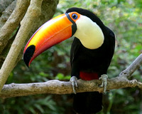 The Bright and Beautiful Toucan