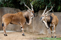 Eastern Giant Elands